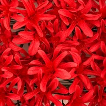 12 Red Paper Lilies or Star Flowers
