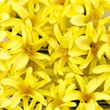 12 Yellow Paper Lilies or Star Flowers